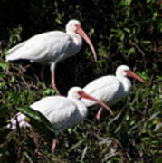 Three Buddies - White Ibis Art Print