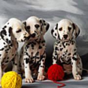 Three Dalmatian Puppies  Art Print by Garry Gay