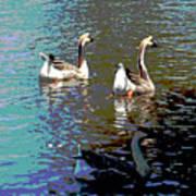 Three Geese Swimming Art Print