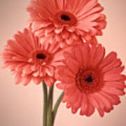 Three Gerberas 1 Art Print