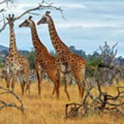 Three Giraffes Art Print
