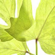 Three Green Leaves Art Print