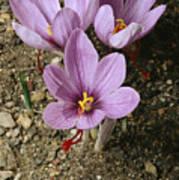 Three Lovely Saffron Crocus Blossoms Art Print