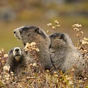 Three Marmots 2 Art Print