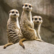 Three Meerkats Art Print