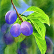 Three Purple Plums With Background Art Print