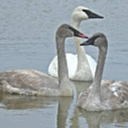 Three Swans Swimming Art Print