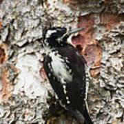 Three Toed Woodpecker  Art Print