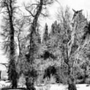 Three Trees Bw Art Print