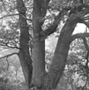 Three Trunk Tree, Whitley Mill Art Print