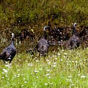 Three Turkeys Art Print