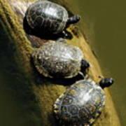 Three Turtles On A Log Art Print