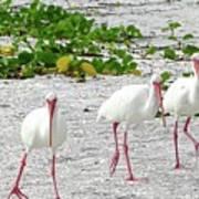 Three White Ibis Walking On The Beach Art Print