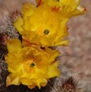 Three Yellow Cactus Flowers Art Print