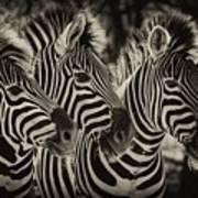 Three Zebra Art Print