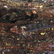 Threefin Blennie Like Fish On Log Art Print