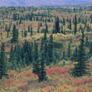 Tiaga Fall Colors, Tundra And Spruce Art Print