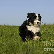 Tibetan Terrier Puppy Art Print