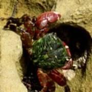 Tide Pool Crab 2 Art Print