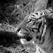 Tiger 2 Bw Art Print