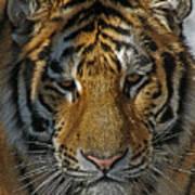 Tiger 5 Posterized Art Print
