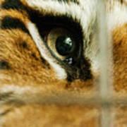 Tiger Behind Bars Art Print by Melody Watson