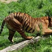 Tiger Clawed Art Print