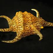 Tiger Conch Seashell Art Print