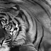 Tiger Eyes White Art Print