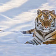 Tiger In The Snow Art Print