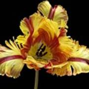 Tiger Lily 3 Art Print