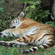 Tiger- Lincoln Park Zoo Art Print