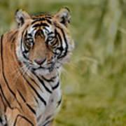 Tiger Look Art Print