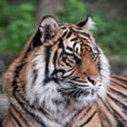 Sumatran Tigress Portrait  Art Print