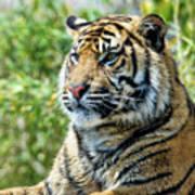 Tiger On Guard Art Print