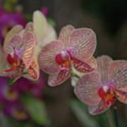 Tiger Orchid Art Print