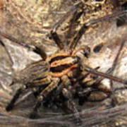 Tiger Spider  Art Print