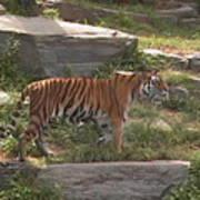 Tiger Stroll Art Print