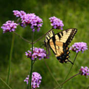 Tiger Swallowtail Among The Verbena   Art Print