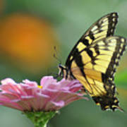 Tiger Swallowtail Butterfly Print by Bill Cannon