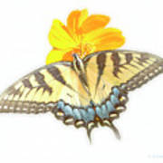 Tiger Swallowtail Butterfly, Cosmos Flower Art Print