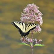 Tiger Swallowtail Butterfly On Common Milkweed 1 Art Print