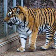 Tiger Territory 4 Art Print