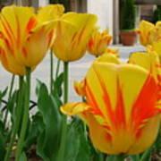 Tiger Tulips Art Print