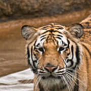 Tiger Wading Stream Art Print