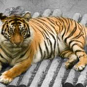 Tigers Look Art Print