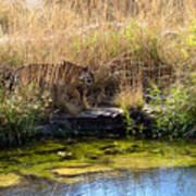 Tigress By The Stream Art Print