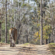 Tigress Walking Along A Track In Sal Forest Pench Tiger Reserve India Art Print