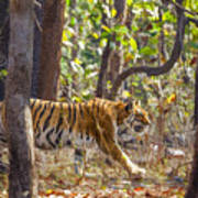 Tigress Walking Through Sal Forest In Pench Tiger Reserve  India Art Print