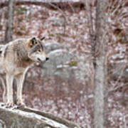 Timber Wolf On Rocks Print by Michael Cummings